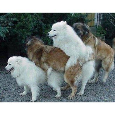 Câini la împerechere