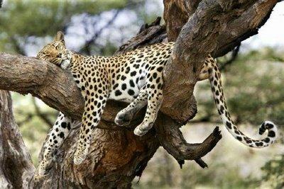 Leopard dormind