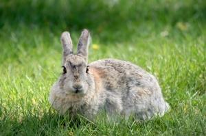 sextarea-iepurilor